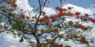 Nicaraguan Tree with Flowers