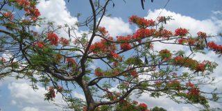 Nicaraguan Tree with Flowers